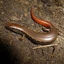 Image of Copper skink