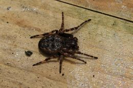 Image of Walnut Orb-Weaver Spider
