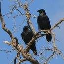 Image of Chihuahuan Raven