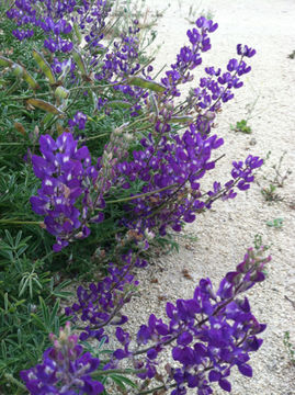 Image of silver lupine