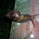 Image of giant african snail