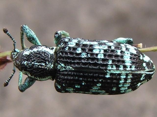 Image of <i>Chrysolopus spectabilis</i>