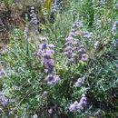 Image of <i>Salvia leucophylla</i>
