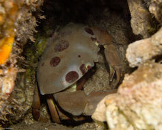 Image of Red spot coral crab
