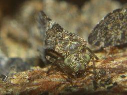 Image of <i>Nimbopsocus australis</i> Smithers & Courtenay 2004