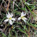 Image of <i>Herpolirion novae-zelandiae</i>