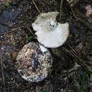 Image of <i>Russula allochroa</i>