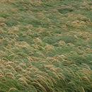 Image of <i>Poa foliosa</i>