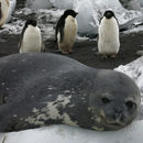 Image of Weddell Seal