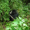 Image of Mountain Gorilla
