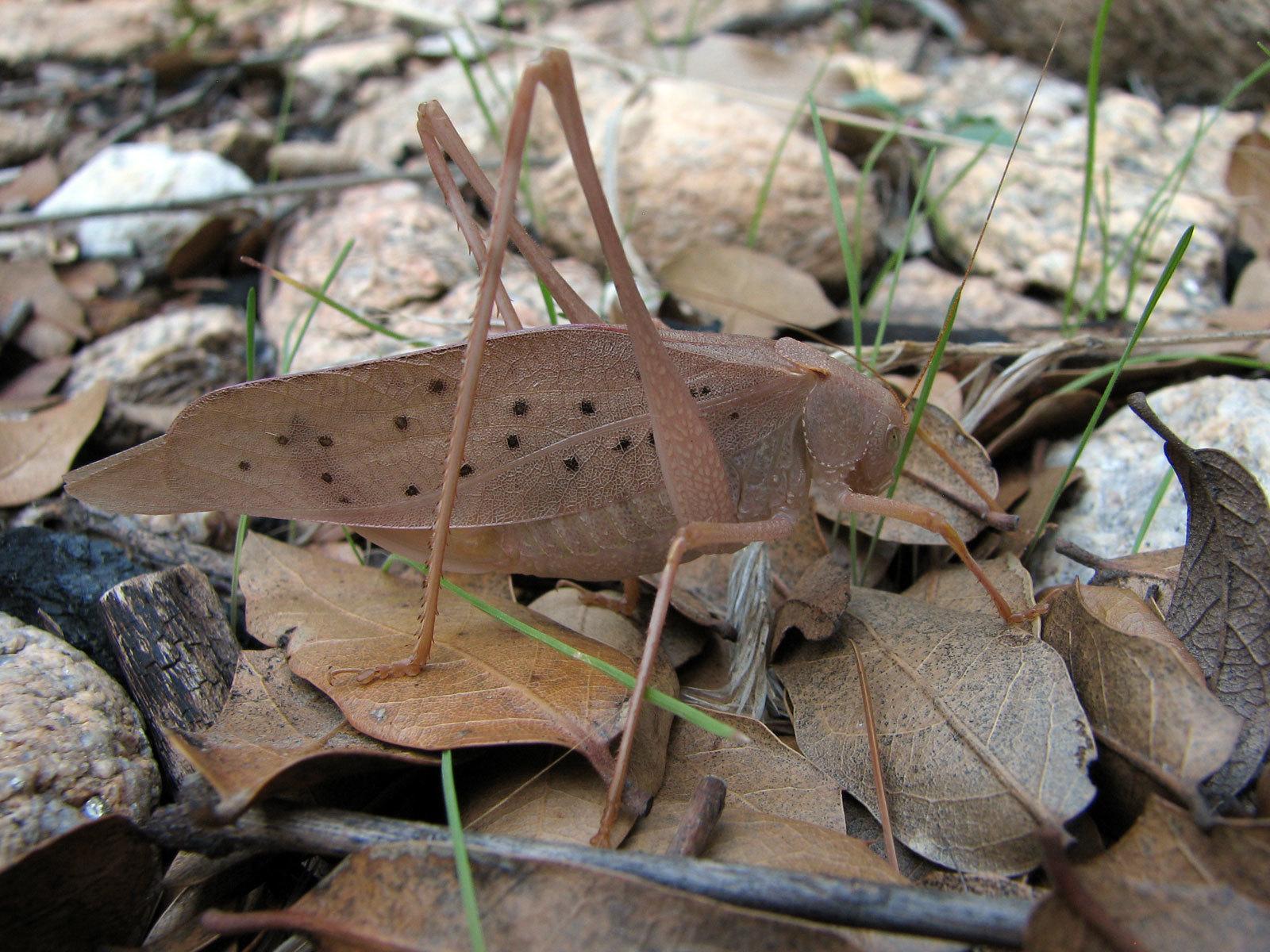 Image of Big Bend False Katydid