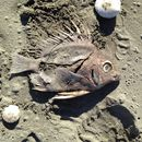 Image of Big-spined boarfish