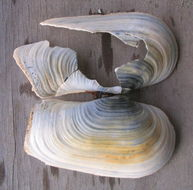 Image of <i>Panopea zelandica</i>