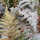 Image of <i>Polystichum neozelandicum</i>