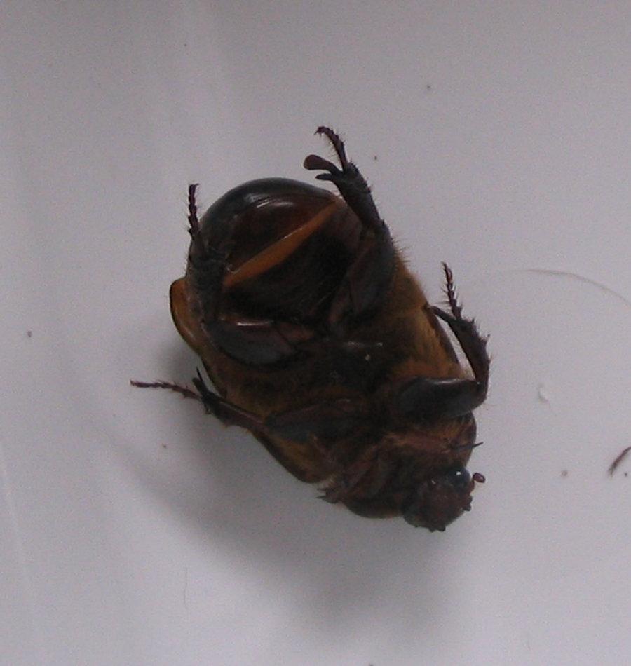 Image of <i>Pericoptus truncatus</i> (Fabricius 1775)