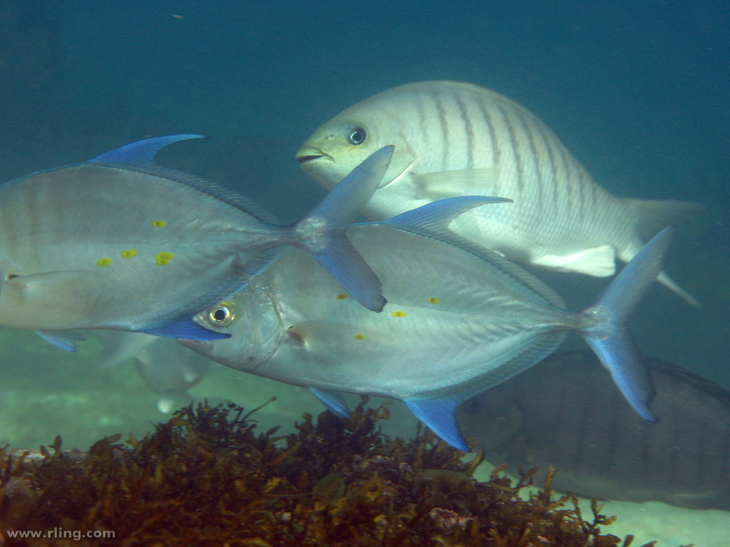 Image of Island trevally