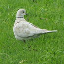 Image of African Collared-Dove