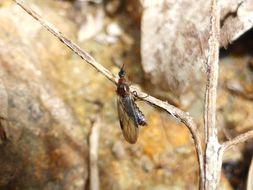 Image of <i>Dilophus nigrostigma</i>