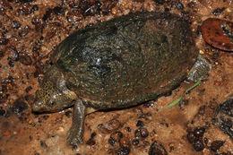Image of Keel-backed musk turtle