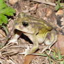 Image of Hurter's Spadefoot