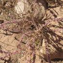 Image of <i>Amaranthus <i>fimbriatus</i></i> fimbriatus