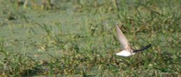 Image of Bank Swallow