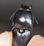 Image of <i>Melanactes densus</i> LeConte 1853