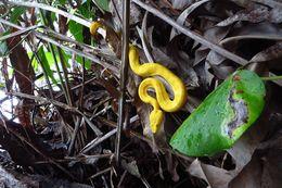 Image of Eyelash palm pit viper