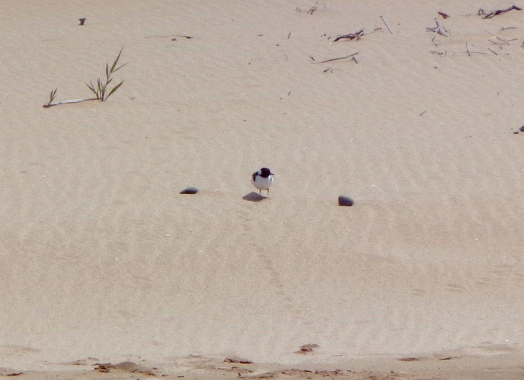 Image of Hooded Dotterel
