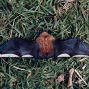 Image of Bocage's Banana Bat