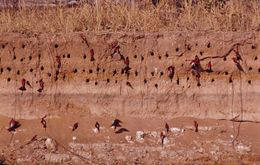 Image of Southern Carmine Bee-eater