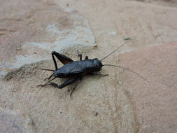 Image of Texas Field Cricket