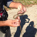 Image of Collared Whip Snake