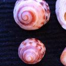 Image of <i>Bembicium nanum</i> (Lamarck 1822)