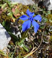 Image of <i>Gentiana verna</i>