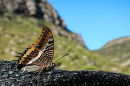 Image of Two-tailed Pasha