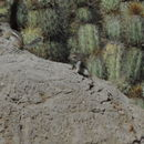 Image of Texas Antelope Squirrel