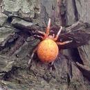 Image of <i>Araneus marmoreus</i> Clerck 1757