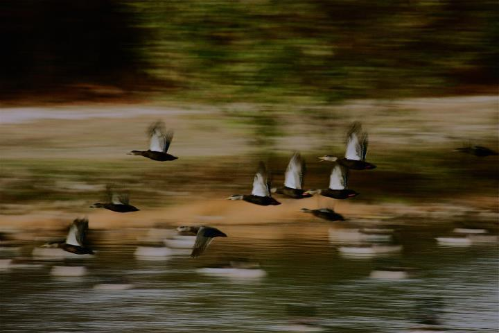Image of American black duck