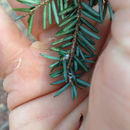 Image of Hemlock Woolly Adelgid