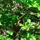 Image of Black-billed Cuckoo