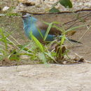 Image of Blue Waxbill