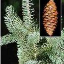 Image of <i>Picea glauca</i>