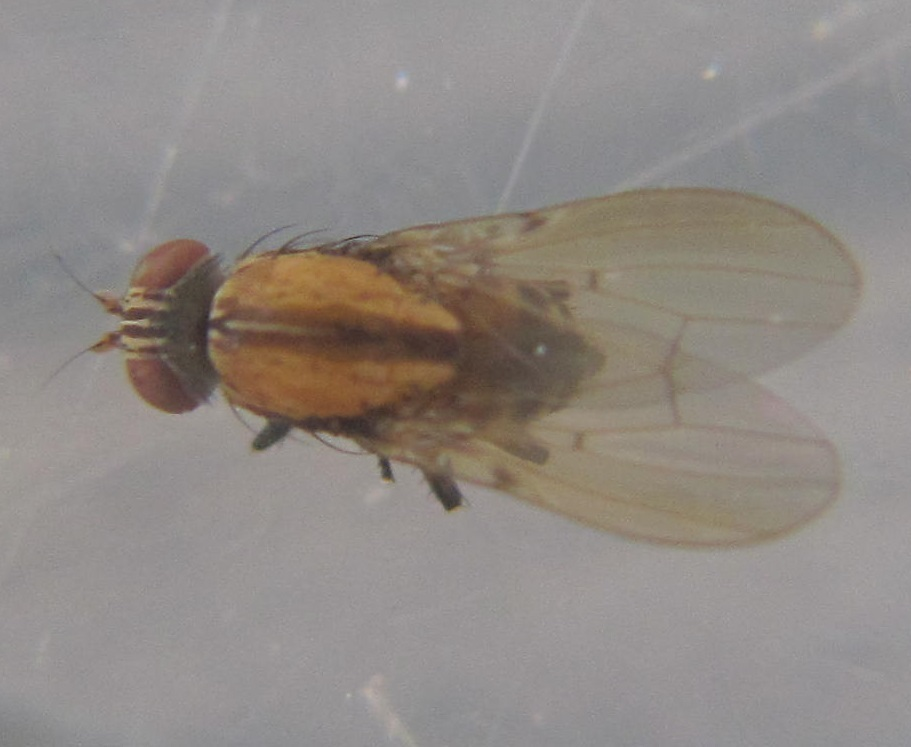 Image of <i>Sapromyza neozelandica</i> Tonnoir & Malloch 1926