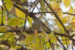 Image of Oak Titmouse