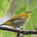 Image of Oriental White-eye
