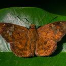 Image of <i>Pseudocoladenia dan</i>