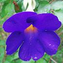 Image of <i>Thunbergia erecta</i>