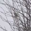 Image of Reed bunting