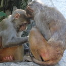 Image of rhesus monkey